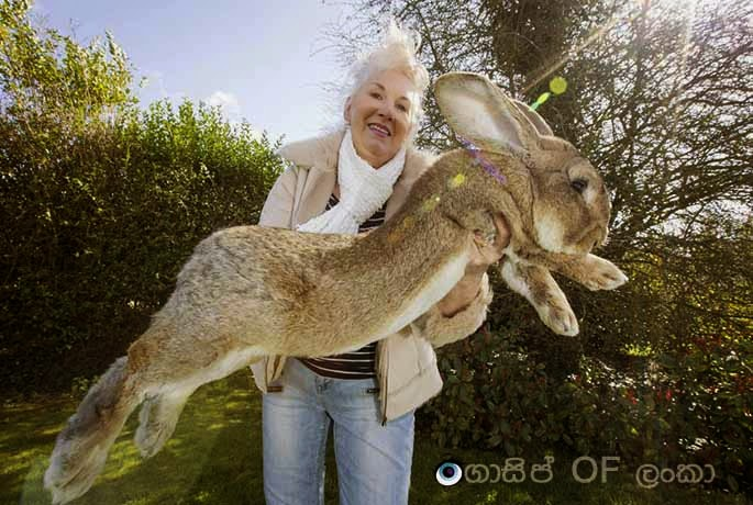 The world's biggest rabbit found in England