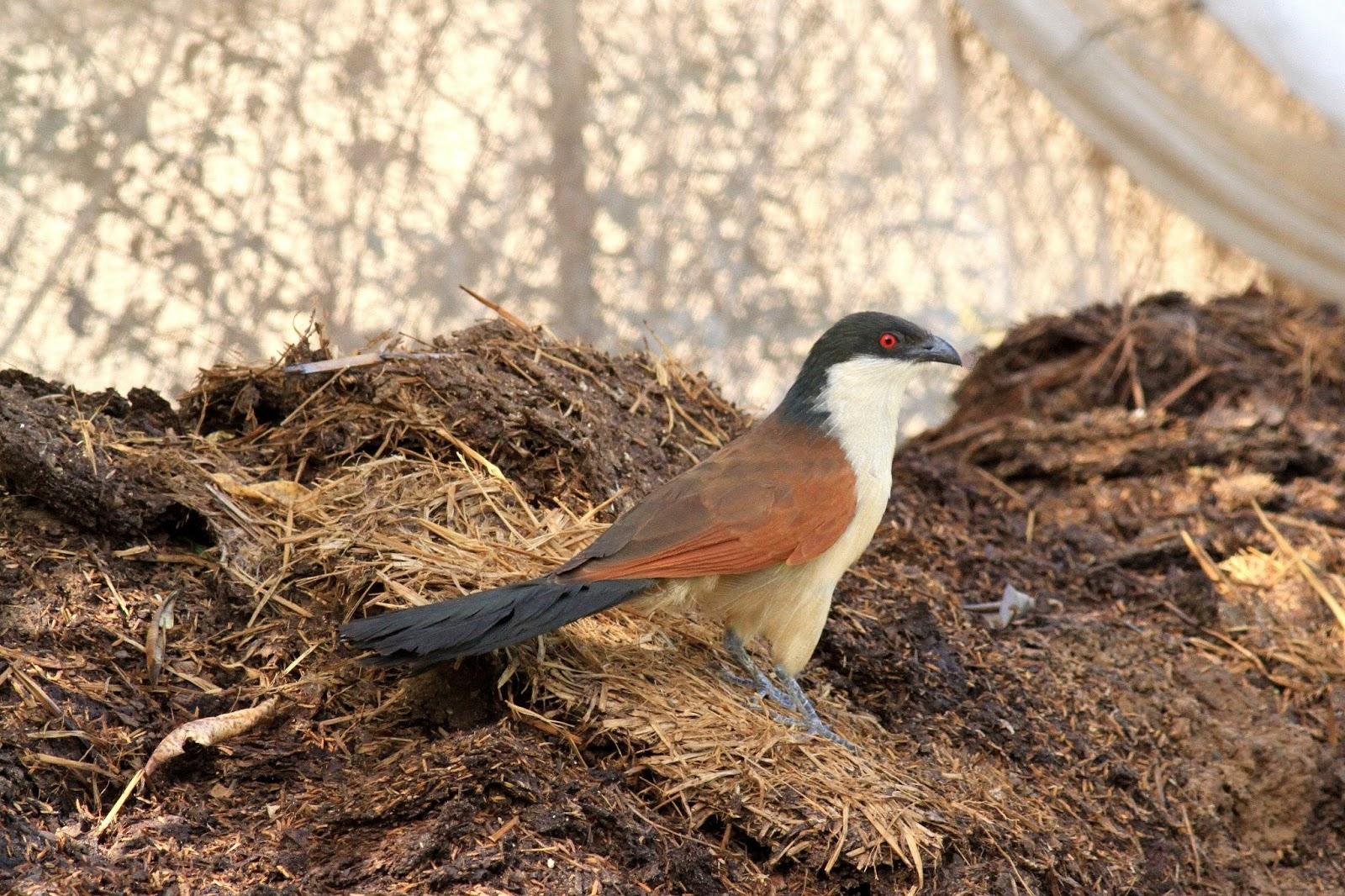Ornithondar les oiseaux saint louis et au nord du for Le jardin dakar