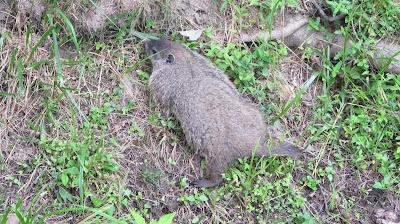 Groundhog (or Woodchuck), Marmota monax