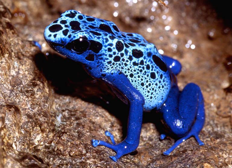 Rã-Dardo-Venenosa-Azul (Dendrobates azureus)