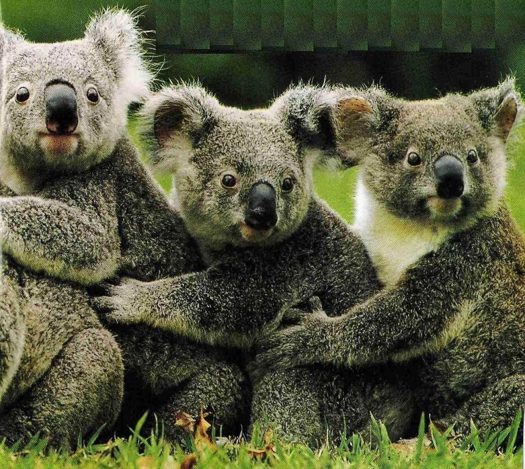 Koala Bear Animal koala bear free