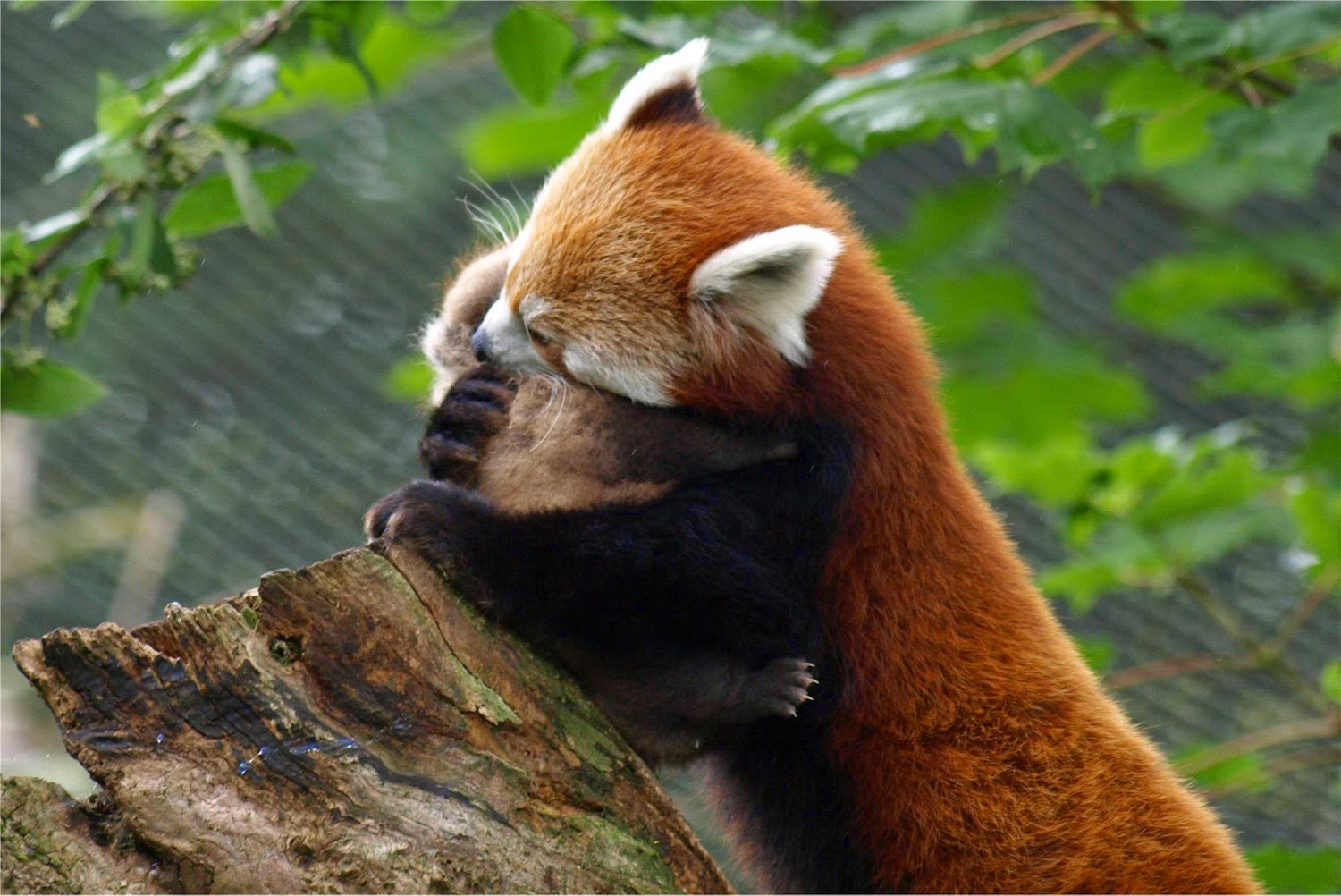 40 Adorable red panda pictures (40 pics), momma red panda hugging her baby