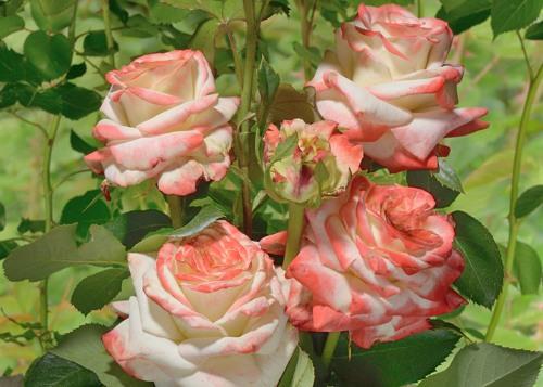 Imperatrice Farah rose сорт розы фото