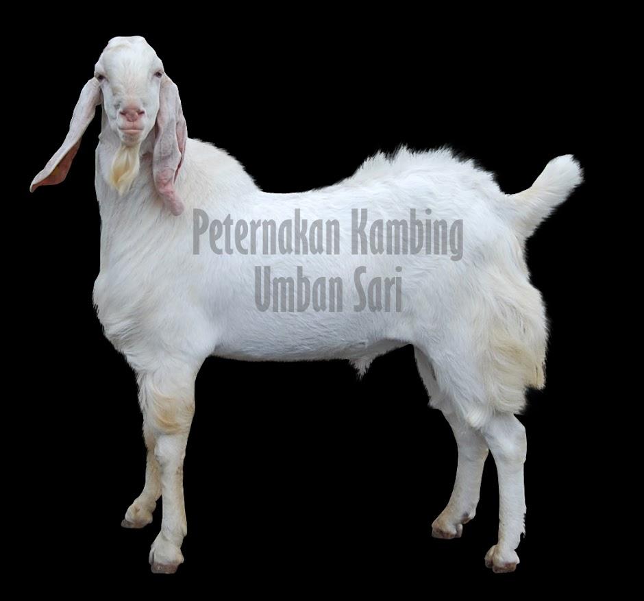 susu kambing pekanbaru