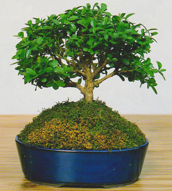 Compact Small-leaved Boxwood bonsai