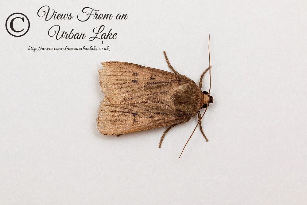 Mouse Moth - Wolverton Mill, Milton Keynes