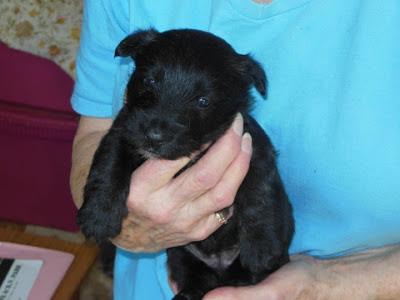 female pup #3 BLK-BRDL - Dan & Sarah Floyd