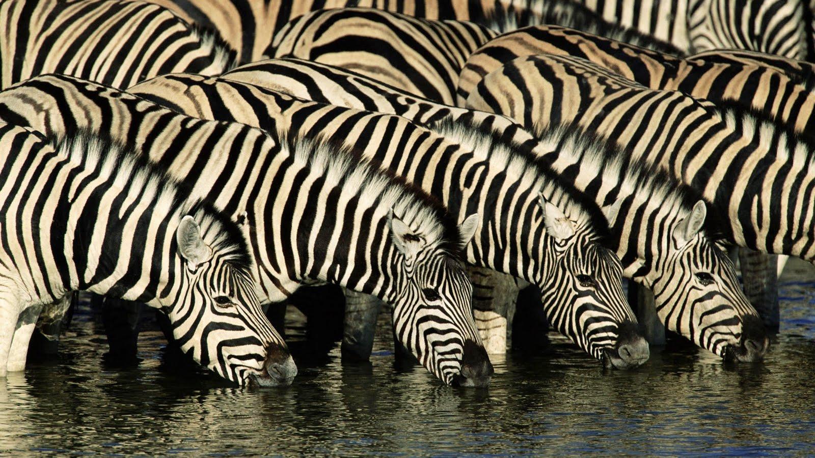http://3.bp.blogspot.com/-ybe1V1ETogE/UOt-ywMsSYI/AAAAAAAAAgs/ZiJErVhRGZA/s1600/zebras-animal-wallpaper-1920x1080-45.jpg