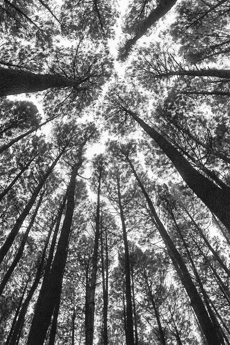 Foto hutan pinus di Imogiri