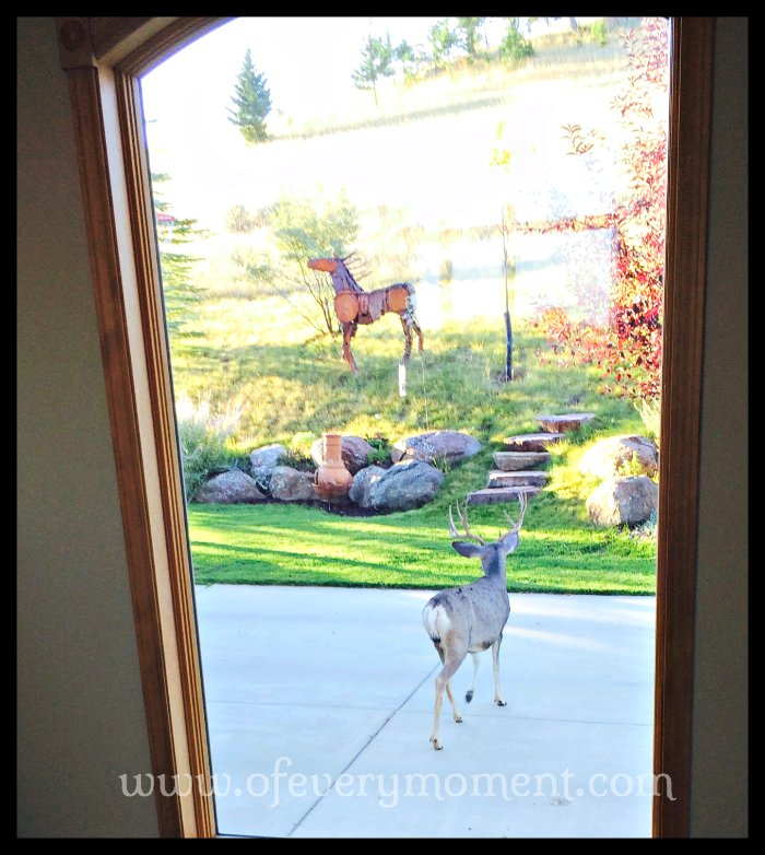 deer, buck, Montana
