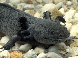 Ảnh đẹp khủng long 6 sừng - cá axolotl