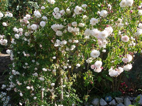 Plantas y flores plantas especies rbol de rosas - Arbol de rosas ...
