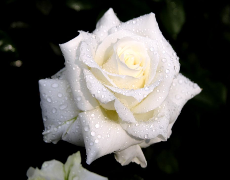 Sitbru White Rose Flower