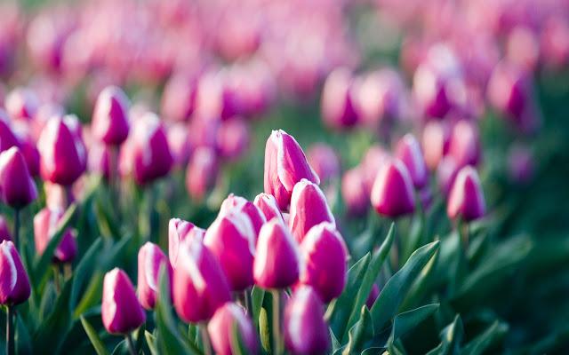 Ảnh đẹp cuộc sống: Bộ hình nền đẹp về cánh đồng hoa Tulip 11