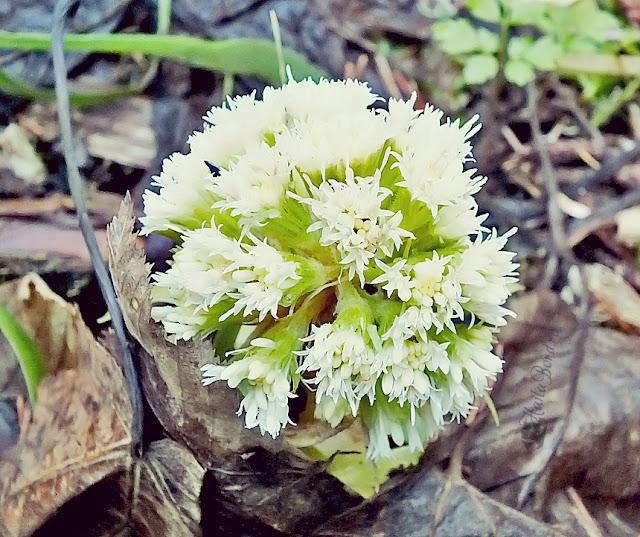 floare alba postavaru