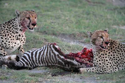 animal cheetahs hunting zebra images
