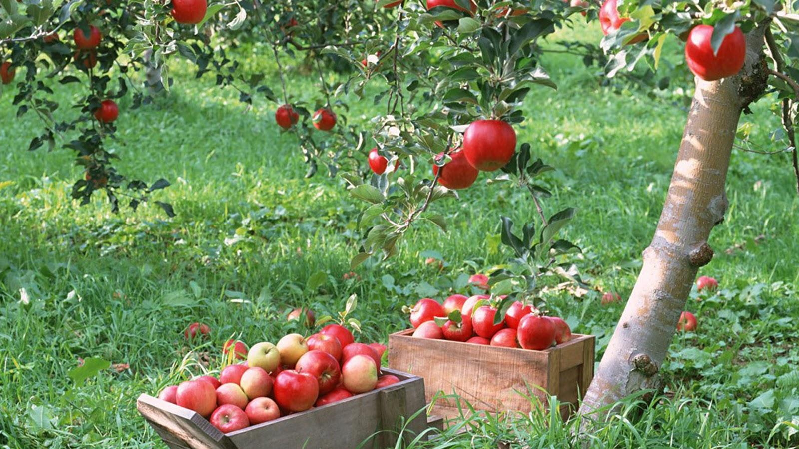 Apple orchard wallpaper