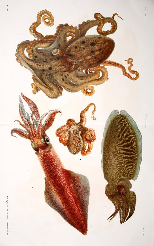 1920s lithograph of cephalopoda species