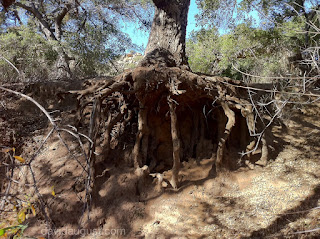 picture of exposed tree roots