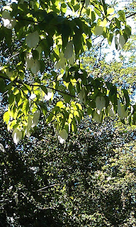 Davidia vilmoriniana - Handkerchief Tree Ruskin Park Leaves Turning White