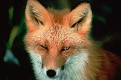Zorro  *  Fox  *  Fuchs *   лиса