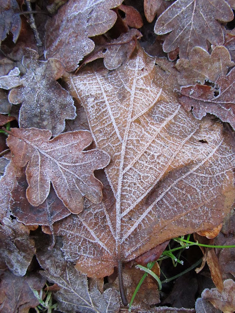 first frost on leaves