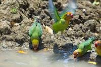 Burung Lovebird ,merawat lovebird,Cara Membuat Kicau Burung Lovebird Yang Bagus -Gacor