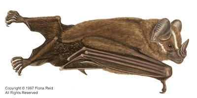 murcielago cara listada Artibeus lituratus