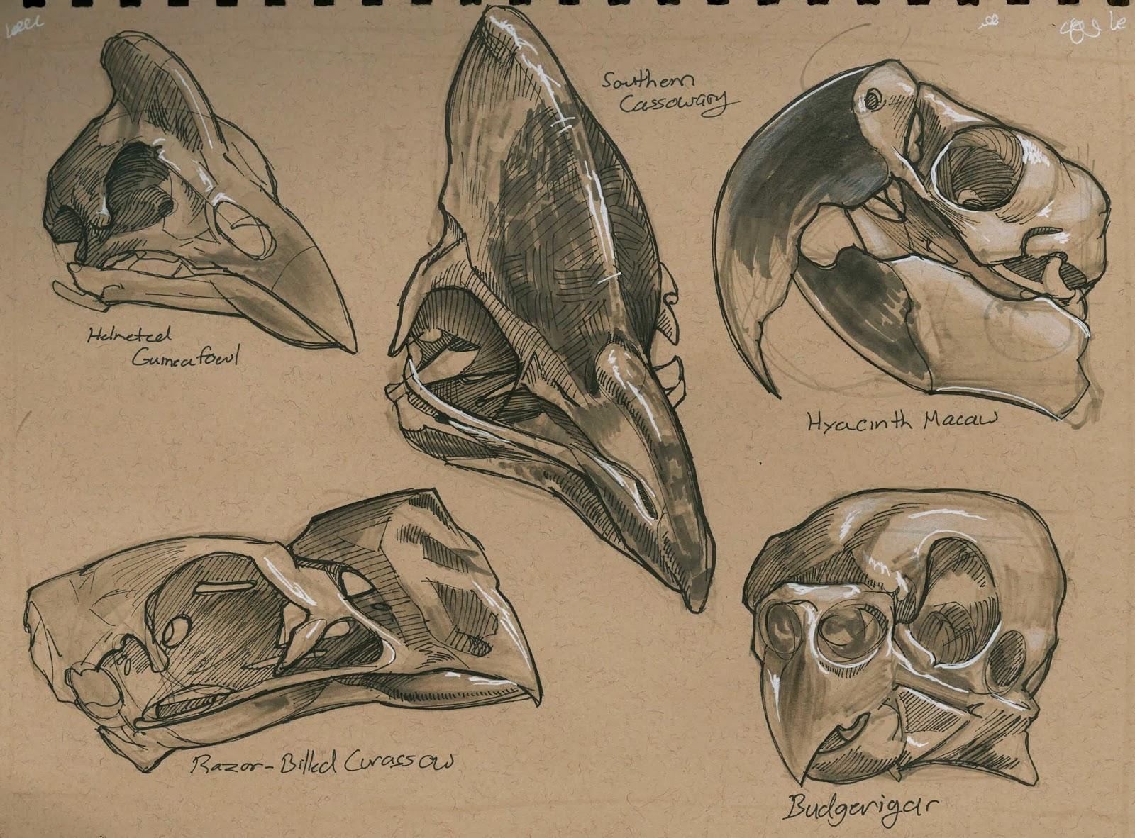 Bird Skull Anatomy