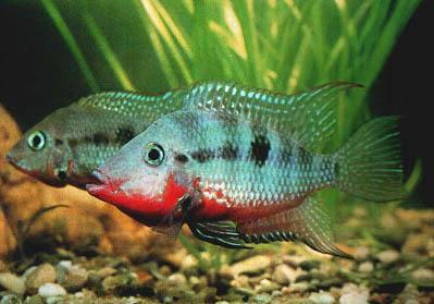 Peces y plantas ornamentales thorichthys meeki boca de for Reproduccion de peces ornamentales