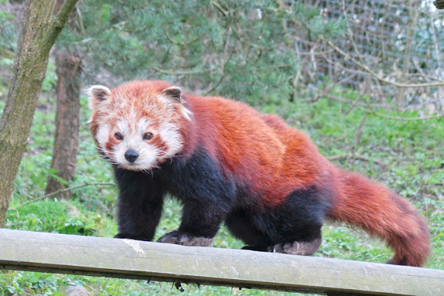 Dudley Zoo and Castle Red Panda