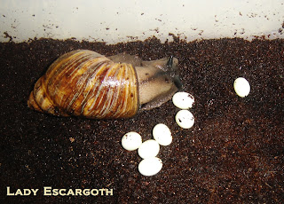 oeufs archachatina