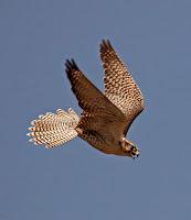 HD desktop wallpaper falcons collection (8)