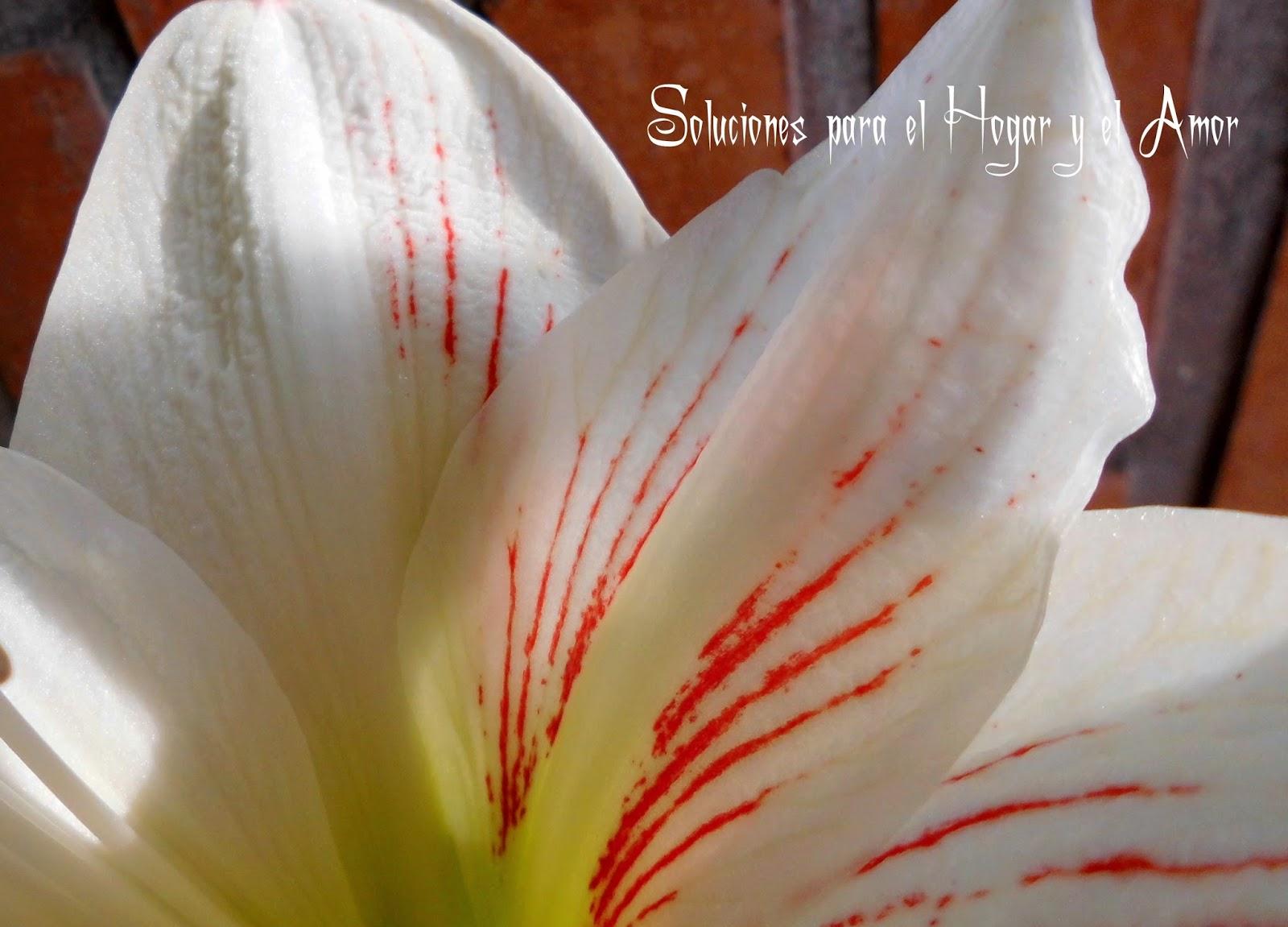Amarilis del Perú, como cultivar el jardín, plantas y flores,