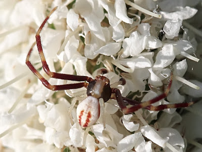 Goldenrod Crab Spider Male