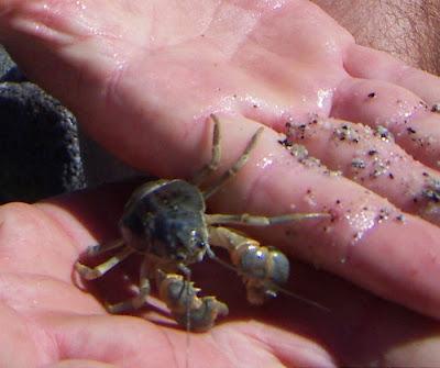 patagonian freshwater lake crab