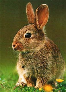 Кролик, Шотландия