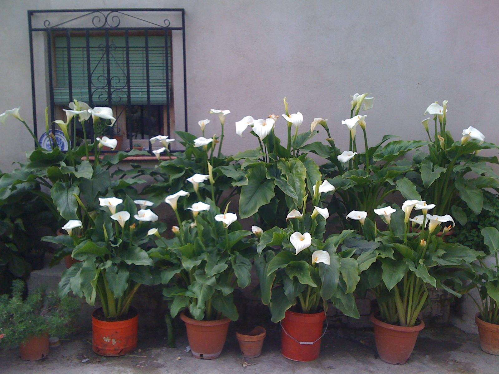 Desde el cant n macetas flores y setos for Arboles para jardin que den sombra