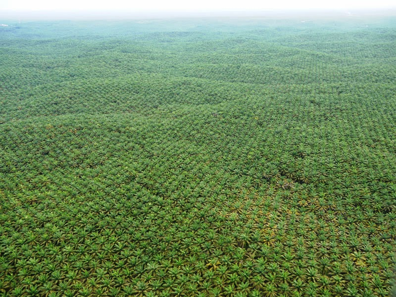 A vast oil palm plantation in Sumatra. To control the burgeoning footprint of agriculture, more stringent and effective land-use zoning and enforcement is needed, including efforts to limit road expansion into tropical forests. (Photo credit: William Laurance) Click to enlarge.