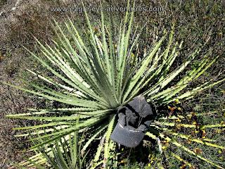 Hechtia bracteata Veracruz