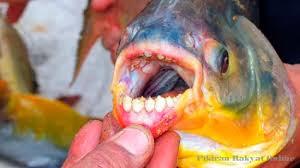 Ikan yang makan alat vital