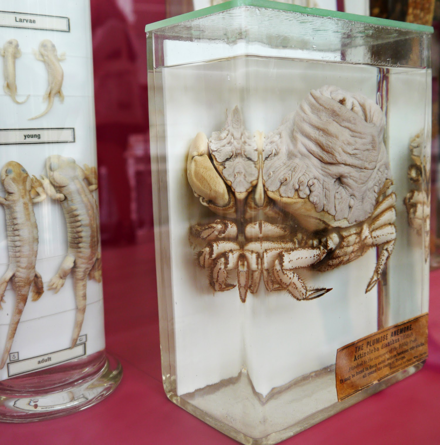national museum, scotland, animal land, crab, lobster, crustacean, taxidermy, biology, natural history, Edinburgh, weird, fossil, bones