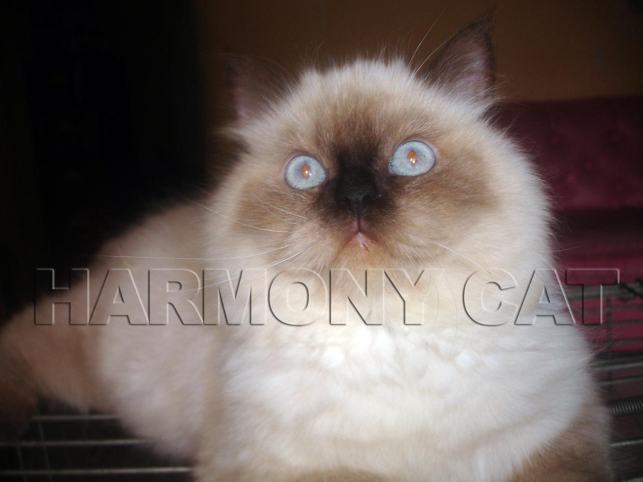 Gambar Ciri Kucing Parsi Cantik Peminat Gambar Flat Di