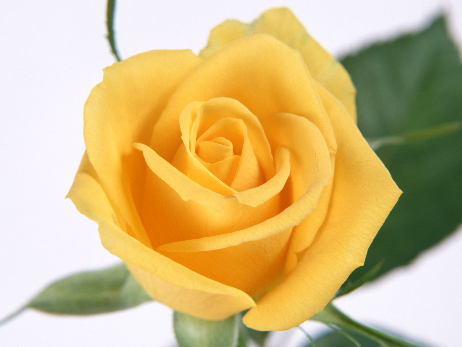 Flower Photos Yellow Rose