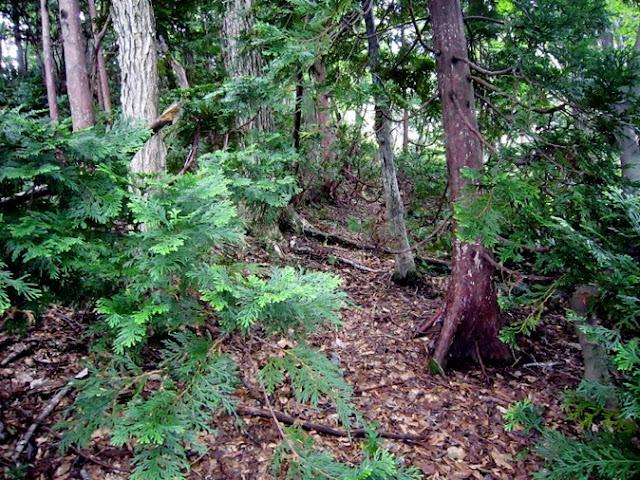 支尾根下部のヒバ林