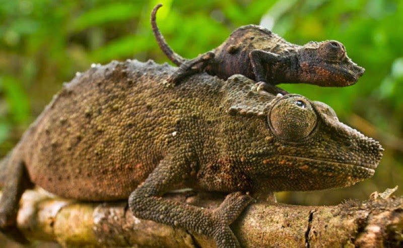 11. A pygmy chameleon atop its bigger version. - 30 Animals With Their Adorable Mini-Me Counterparts