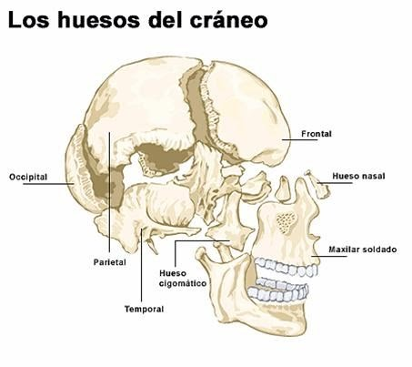 Cuerpo Humano DIBUJOS DE LOS HUESOS DEL CRANEO Y SUS PARTES
