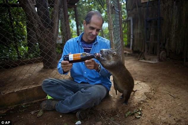 يقوم رافائيل بسقاية الحيوان من زجاجة