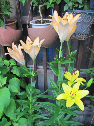 Japanese Lilies In Bloom