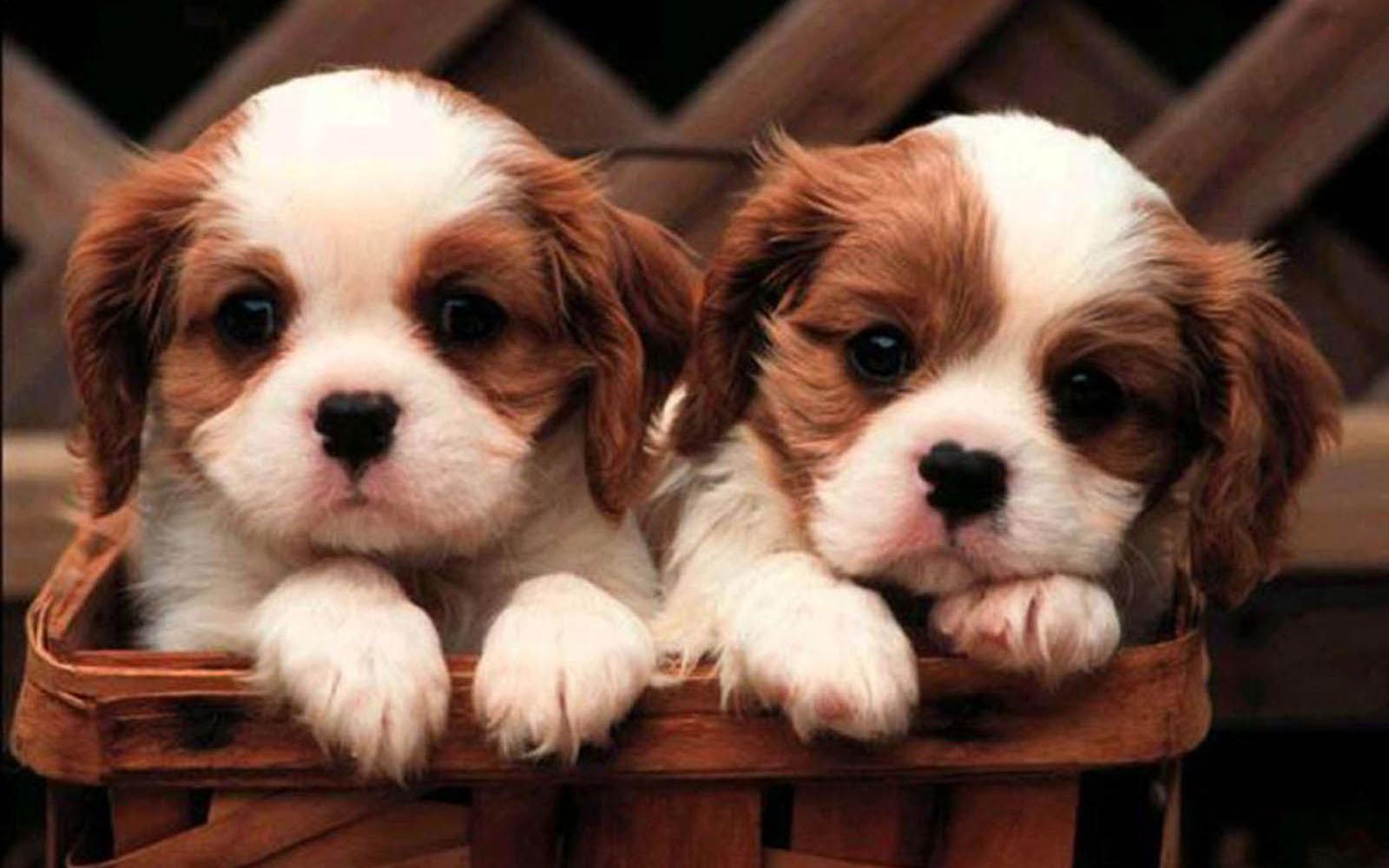 Puppy desktop wallpaper